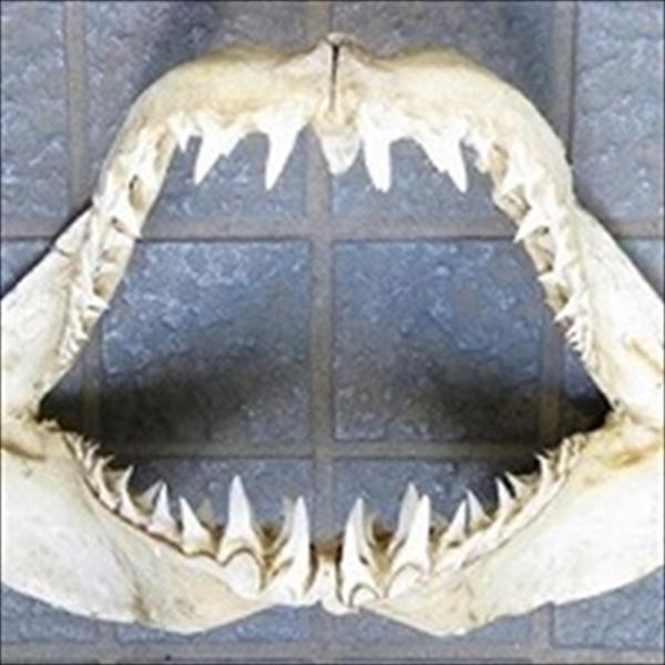 ジャワの海で捕獲されたサメ(鮫)の歯(アオザメ)です